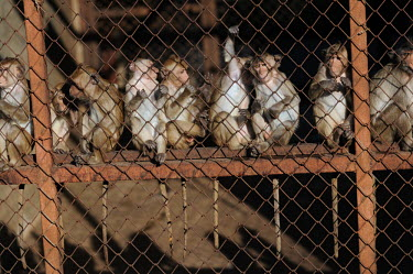 Crab-eating macaques held at a breeding facility likely to be sold to laboratories, Laos Crab-eating macaque,Macaca fascicularis,Mammalia,Mammals,Chordates,Chordata,Primates,Old World Monkeys,Cercopithecidae,Cynomolgus monkey,long-tailed macaque,Macaca Cangrejera,Macaque Crabier,Macaque D
