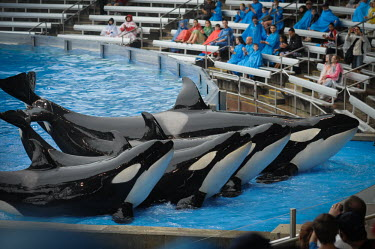 Sea Life Park in Florida, orcas are kept captive to perform tricks to entertain tourists locked,prisoner,victim,sad,captive,Orca,Orcinus orca,Chordates,Chordata,Cetacea,Whales, Dolphins, and Porpoises,Oceanic Dolphins,Delphinidae,Mammalia,Mammals,killer whale,Orcinus glacialis,Orcinus nan