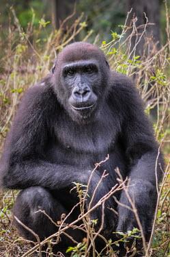 Ape Action Africa sanctuary in Cameroon Animal rescue,rescued,Temperate rainforest,Facial portrait,face,Portrait,face picture,face shot,Western gorilla,Gorilla gorilla,Primates,Mammalia,Mammals,Chordates,Chordata,Hominids,Hominidae,Gorila,G