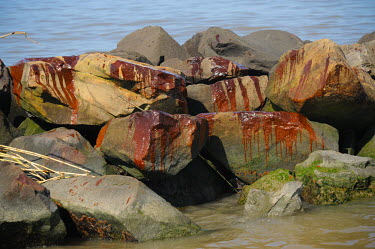 Oil can be seen on beaches, rocks and the bamboo throughout the south west passage of the Mississippi Delta Tri-State,boat,beach,oil,spill,bird,net,water,BP,louisiana,coast guard