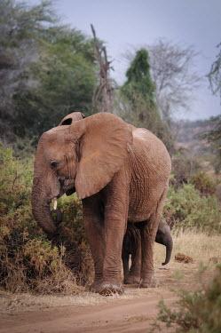 African elephant, Kenya face,Terrestrial,ground,ear,Ears,environment,ecosystem,Habitat,Grassland,Tusks,tusk,savannahs,savana,savannas,shrubland,savannah,Savanna,African elephant,Loxodonta africana,Elephants,Elephantidae,Chor