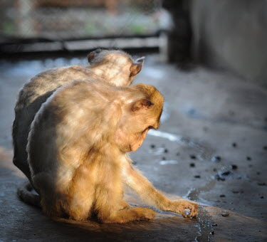 Crab-eating macaques held at a breeding facility likely to be sold to laboratories, Laos Sad,upset,sadness,panic,panicked,worried,scared,Afraid,Human impact,human influence,anthropogenic,farmed land,farm land,farmland,Farming,industry,farm,Resource exploitation,negative,sad,pet,zoo,captur