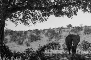 African elephant, Kenya Grassland,environment,ecosystem,Habitat,savannahs,savana,savannas,shrubland,savannah,Savanna,Terrestrial,ground,African elephant,Loxodonta africana,Elephants,Elephantidae,Chordates,Chordata,Elephants,