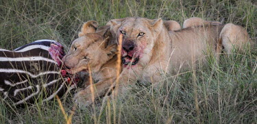 Lions eating a zebra, Kenya Terrestrial,ground,environment,ecosystem,Habitat,bloody,Blood,savannahs,savana,savannas,shrubland,savannah,Savanna,Grassland,food,feed,hungry,eat,hunger,Feeding,eating,predation,hunt,hunter,stalking,H