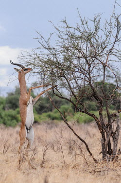 Gerenuk eating shoots and leaves, Kenya Horn,horns,Gerenuk,Litocranius walleri,Even-toed Ungulates,Artiodactyla,Chordates,Chordata,Bovidae,Bison, Cattle, Sheep, Goats, Antelopes,Mammalia,Mammals,Wallers gazelle,walleri,Animalia,Near Threate