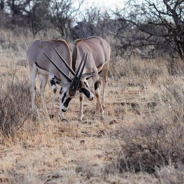 Beisa oryx knocking heads, Kenya Beisa oryx,Oryx beisa,Bovidae,Bison, Cattle, Sheep, Goats, Antelopes,Mammalia,Mammals,Chordates,Chordata,Even-toed Ungulates,Artiodactyla,Oryx gazella beisa,Oryx,Herbivorous,Cetartiodactyla,Animalia,S