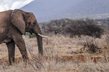 African elephant, Kenya environment,ecosystem,Habitat,Terrestrial,ground,Grassland,face,Tusks,tusk,savannahs,savana,savannas,shrubland,savannah,Savanna,ear,Ears,African elephant,Loxodonta africana,Elephants,Elephantidae,Chor