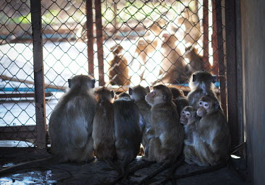 Crab-eating macaques held at a breeding facility likely to be sold to laboratories, Laos Human impact,human influence,anthropogenic,Sad,upset,sadness,Resource exploitation,negative,sad,farmed land,farm land,farmland,Farming,industry,farm,panic,panicked,worried,scared,Afraid,pet,zoo,captur
