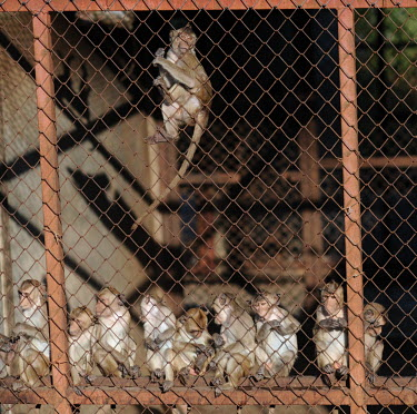 Crab-eating macaques held at a breeding facility likely to be sold to laboratories, Laos negative,sad,Resource exploitation,Sad,upset,sadness,pet,zoo,captured,held,Captive,zoological,Human impact,human influence,anthropogenic,panic,panicked,worried,scared,Afraid,farmed land,farm land,farm