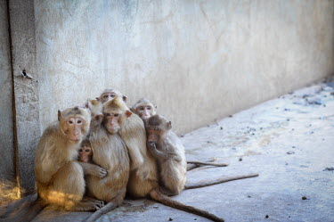 Crab-eating macaques held at a breeding facility likely to be sold to laboratories, Laos Resource exploitation,Sad,upset,sadness,Human impact,human influence,anthropogenic,pet,zoo,captured,held,Captive,zoological,negative,sad,farmed land,farm land,farmland,Farming,industry,farm,panic,pani