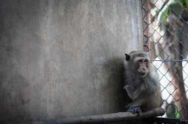 Crab-eating macaque held at a breeding facility likely to be sold to a laboratory, Laos Sad,upset,sadness,Resource exploitation,pet,zoo,captured,held,Captive,zoological,panic,panicked,worried,scared,Afraid,Human impact,human influence,anthropogenic,farmed land,farm land,farmland,Farming,