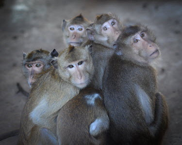 Crab-eating macaques held at a breeding facility likely to be sold to laboratories, Laos Resource exploitation,pet,zoo,captured,held,Captive,zoological,Human impact,human influence,anthropogenic,Sad,upset,sadness,panic,panicked,worried,scared,Afraid,negative,sad,farmed land,farm land,farm