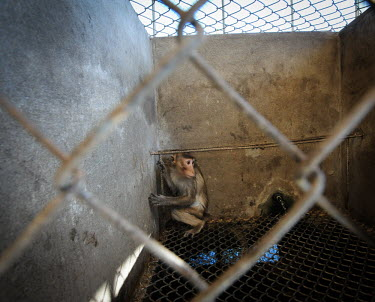 Frightened crab-eating macaques held at a breeding facility likely to be sold to a laboratory, Laos Human impact,human influence,anthropogenic,panic,panicked,worried,scared,Afraid,farmed land,farm land,farmland,Farming,industry,farm,Sad,upset,sadness,pet,zoo,captured,held,Captive,zoological,Resource