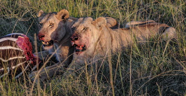 Lions eating a zebra, Kenya Terrestrial,ground,environment,ecosystem,Habitat,savannahs,savana,savannas,shrubland,savannah,Savanna,open mouth,Grassland,Carnivorous,Carnivore,carnivores,bloody,Blood,food,feed,hungry,eat,hunger,Fee