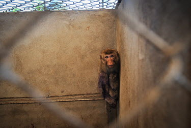 Frightened crab-eating macaques held at a breeding facility likely to be sold to a laboratory, Laos Crab-eating macaque,Macaca fascicularis,Mammalia,Mammals,Chordates,Chordata,Primates,Old World Monkeys,Cercopithecidae,Cynomolgus monkey,long-tailed macaque,Macaca Cangrejera,Macaque Crabier,Macaque D