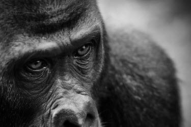 Ape Action Africa sanctuary in Cameroon Temperate rainforest,Facial portrait,face,Animal rescue,rescued,Portrait,face picture,face shot,Western gorilla,Gorilla gorilla,Primates,Mammalia,Mammals,Chordates,Chordata,Hominids,Hominidae,Gorila,G