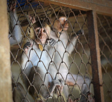 Crab-eating macaques held at a breeding facility likely to be sold to laboratories, Laos panic,panicked,worried,scared,Afraid,Sad,upset,sadness,Resource exploitation,farmed land,farm land,farmland,Farming,industry,farm,pet,zoo,captured,held,Captive,zoological,Human impact,human influence,