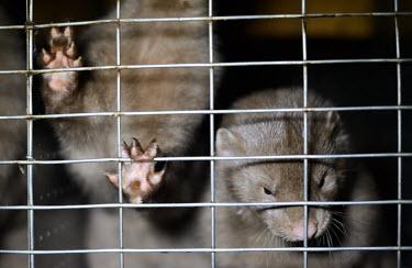European mink held in a cage, Sweden farmed land,farm land,farmland,Farming,industry,farm,Resource exploitation,Human impact,human influence,anthropogenic,European mink,Mustela lutreola,Carnivores,Carnivora,Mammalia,Mammals,Weasels, Badg