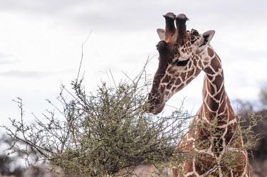 Giraffe eating shoots and leaves, Kenya Giraffe,Giraffa camelopardalis,Even-toed Ungulates,Artiodactyla,Chordates,Chordata,Mammalia,Mammals,Giraffidae,Giraffes,Terrestrial,Africa,Cetartiodactyla,Savannah,Herbivorous,Endangered,camelopardali