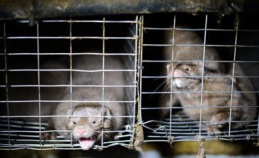 European mink held in cages, Sweden European mink,Mustela lutreola,Carnivores,Carnivora,Mammalia,Mammals,Weasels, Badgers and Otters,Mustelidae,Chordates,Chordata,Vis�n Europeo,Vison d'Europe,Mustela,Animalia,Subterranean,Wetlands,Criti