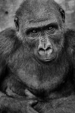 Ape Action Africa sanctuary in Cameroon Western gorilla,Gorilla gorilla,Primates,Mammalia,Mammals,Chordates,Chordata,Hominids,Hominidae,Gorila,Gorille,Endangered,Gorilla,gorilla,Animalia,Africa,Tropical,Herbivorous,Terrestrial,Arboreal,Appe