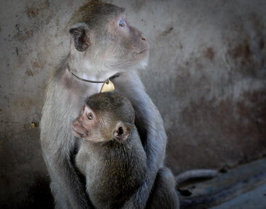 Crab-eating macaque mother and child at a breeding facility likely to be sold to laboratories, Laos Crab-eating macaque,Macaca fascicularis,Mammalia,Mammals,Chordates,Chordata,Primates,Old World Monkeys,Cercopithecidae,Cynomolgus monkey,long-tailed macaque,Macaca Cangrejera,Macaque Crabier,Macaque D