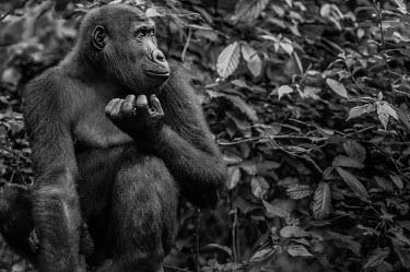 Ape Action Africa sanctuary in Cameroon Facial portrait,face,Animal rescue,rescued,Portrait,face picture,face shot,Temperate rainforest,Western gorilla,Gorilla gorilla,Primates,Mammalia,Mammals,Chordates,Chordata,Hominids,Hominidae,Gorila,G