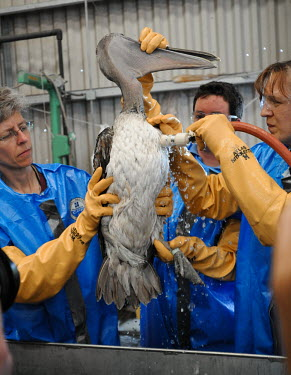 Pelican was rescued from the Deepwater Horizon oil spill on April 20th, 2010 Oil,Animal rescue,rescued,Fossil fuel,Fossil Fuels,fuel,Resource exploitation,spillage,Oil spill,oil leak,oil spillage,Pollutants,Pollution,Human impact,human influence,anthropogenic,oil,bird,spill,pe