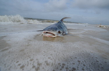 Dead fish washing up along the Gulf Coast after an oil spill, USA shoreline,Shore,sea shore,shoreland,sea side,Oil,coast,Coastal,coast line,coastline,Pollutants,Pollution,Aquatic,water,water body,Dead,trash,Waste pollution,litter,human waste,rubbish,garbage,environm