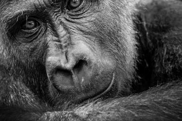 Ape Action Africa sanctuary in Cameroon Animal rescue,rescued,Portrait,face picture,face shot,Temperate rainforest,Facial portrait,face,Western gorilla,Gorilla gorilla,Primates,Mammalia,Mammals,Chordates,Chordata,Hominids,Hominidae,Gorila,G