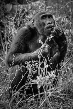 Ape Action Africa sanctuary in Cameroon Facial portrait,face,Animal rescue,rescued,Temperate rainforest,Portrait,face picture,face shot,Western gorilla,Gorilla gorilla,Primates,Mammalia,Mammals,Chordates,Chordata,Hominids,Hominidae,Gorila,G