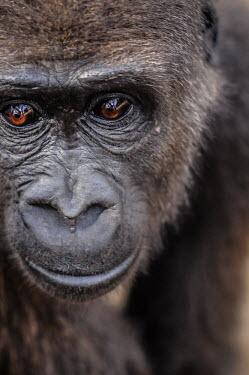 Ape Action Africa sanctuary in Cameroon Animal rescue,rescued,Facial portrait,face,Temperate rainforest,Portrait,face picture,face shot,Western gorilla,Gorilla gorilla,Primates,Mammalia,Mammals,Chordates,Chordata,Hominids,Hominidae,Gorila,G