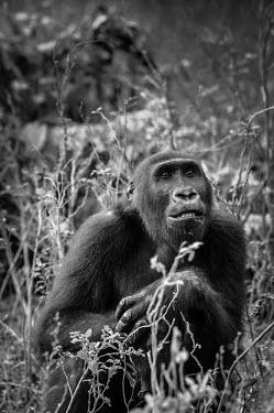 Ape Action Africa sanctuary in Cameroon Temperate rainforest,Facial portrait,face,Portrait,face picture,face shot,Animal rescue,rescued,Western gorilla,Gorilla gorilla,Primates,Mammalia,Mammals,Chordates,Chordata,Hominids,Hominidae,Gorila,G