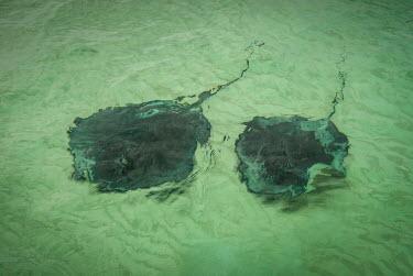 Southern stingray gather around the Cayman Islands Southern stingray,Dasyatis americana,Cartilaginous Fishes,Chondrichthyes,Chordates,Chordata,True rays and Skates,Rajiformes,Pastenague Am�ricaine,Raya-l�tigo Americana,Raya Americana,Raya Chucho,Salt