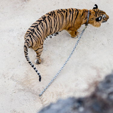 Tiger Temple in Thailand, tigers are chained to the ground so they can't escape chain,chained,chains,locked,prisoner,victim,sad,captive,Tiger,Carnivores,Carnivora,Mammalia,Mammals,Chordates,Chordata,Felidae,Cats,Tigre,Panthera,Tropical,Appendix I,tigris,Carnivorous,Extinct,Asia,T