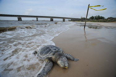 Dead turtles found along the Gulf coast after an oil spill, USA dead,turtle,turtles,reptiles,victim,Deepwater Horizon,BP,BP oil spill,Turtle - logger?