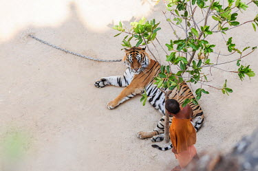 Tiger Temple in Thailand, tigers are chained to the ground so they can't escape coloration,Colouration,Tired,exhaustion,exhausted,sleepy,lazy,stripe,Stripes,stripy,striped,Sad,upset,sadness,Tourism,negative,sad,patterns,patterned,Pattern,Human impact,human influence,anthropogenic