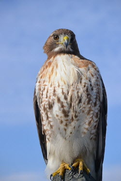 Red-tailed hawk, USA Blue background,sky,Sky background,Perching,perched,perch,bird,birds raptor,hawk,red-tailed hawk,buteo,jamaicensis,accipitriformes,Red-tailed hawk,Buteo jamaicensis,Falconiformes,Hawks Eagles Falcons