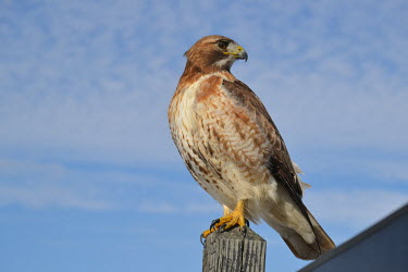 Red-tailed hawk, USA sky,Sky background,Blue background,Perching,perched,perch,bird,birds raptor,hawk,red-tailed hawk,buteo,jamaicensis,ac,Red-tailed hawk,Buteo jamaicensis,Falconiformes,Hawks Eagles Falcons Kestrel,Aves,