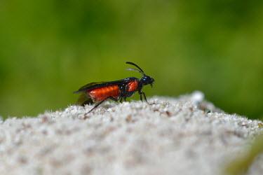 Poison ivy sawfly, USA environment,ecosystem,Habitat,Grassland,wildflower meadow,Meadow,Close up,Macro,macrophotography,Terrestrial,ground,arthropoda,arge,hymenoptera,Insecta,sawfly,symphyta,arge humeralis,argidae,poison iv