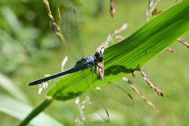 Eastern pondhawk, USA Macro,macrophotography,environment,ecosystem,Habitat,Terrestrial,ground,Close up,wildflower meadow,Meadow,Grassland,dragonfly,arthropoda,skimmer,pondhawk,odonata,libellulidae,Insecta,anisoptera,erythe
