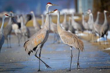 Sandhill crane colony, USA Sandhill crane,Grus canadensis,Chordates,Chordata,Gruiformes,Rails and Cranes,Aves,Birds,Gruidae,Grassland,Terrestrial,Least Concern,Wetlands,Flying,canadensis,Animalia,Omnivorous,Grus,North America,A