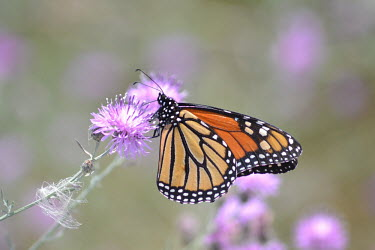Monarch butterfly feeding, USA Grassland,environment,ecosystem,Habitat,Macro,macrophotography,wildflower meadow,Meadow,Terrestrial,ground,Close up,Monarch butterfly,Danaus plexippus,Nymphalidae,Brush-Footed Butterflies,Insects,Inse