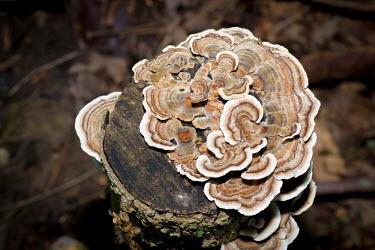 Turkey tail fungi, USA environment,ecosystem,Habitat,Close up,Macro,macrophotography,Terrestrial,ground,woodlands,wood land,Woodlot,Woodland,mushroom,fungi,polypore,basidiomycota,turkey tail,trametes,bracket fungi,trametes