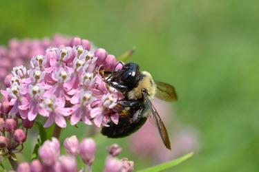 Eastern carpenter bee, USA arthropoda,carpenter bee,hymenoptera,Insecta,xylocopa virginica,Eastern carpenter bee,apidae,xylocopinae,xylocopa,aculeata,xylocopoides,large carpenter bee,anthophila,Xylocopa virginica