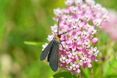 Yellow-collared scape moth, USA moth,lepidoptera,arctiinae,tiger moth,arthropoda,Insecta,yellow-collared scape moth,cissepsfulvicollis,cisseps,erebidae,arctiini,noctuoidea,ctenuchina,Yellow-collared scape moth,Cisseps fulvicollis