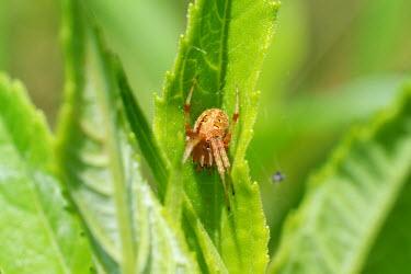 Orbweaver spider, USA spider,arthropoda,Arachnida,orbweaver,araneus,araneae,araneidae,chelicerata,araneomorphae,entelegynes,Orbweaver