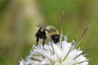 Common Eastern bumblebee gathering pollen, USA bumblebee,arthropoda,bombus,hymenoptera,Insecta,apidae,apinae,bombini,aculeata,anthophila,pyrobombus,common eastern bumblebee,Common Eastern bumblebee,Bombus impatiens
