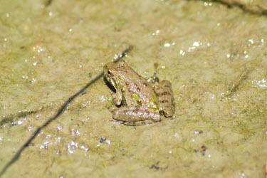 Northern cricket frog, USA Close up,Macro,macrophotography,frog,tree frog,anura,Amphibia,hylidae,chordata,acris,acris crepitans,Northern cricket frog,Acris crepitans