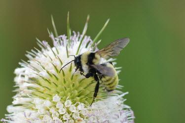American bumblebee, USA bumblebee,arthropoda,bombus,hymenoptera,Insecta,apidae,apinae,bombini,aculeata,anthophila,thoracombus,American bumblebee,Bombus pensylvanicus